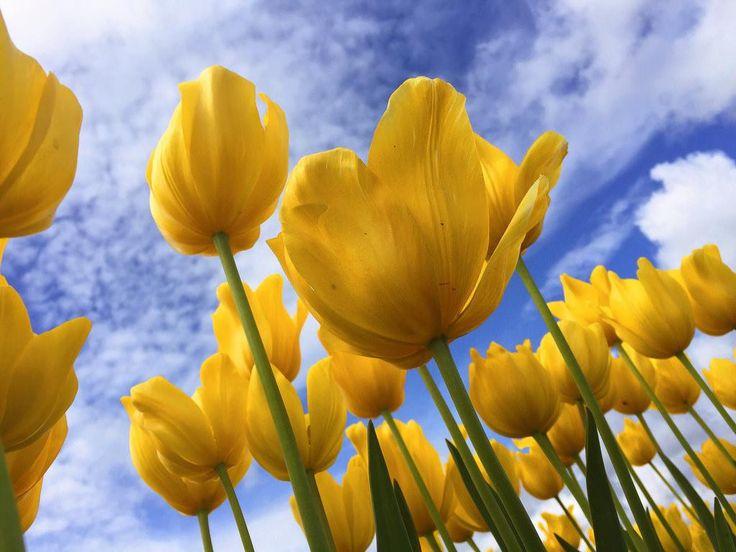 Imagen gratis de tulipanes amarillos | Saber de fotografía es facilisimo.com