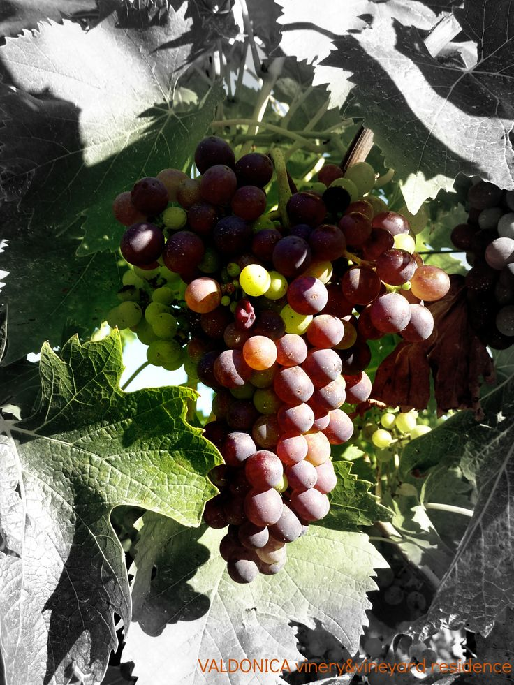Photograph: a ‪#‎picture‬ painted by the sun without instruction in art.The variety of colours in a bunch of ‪#‎grape‬ in VALDONICA 's Winery.