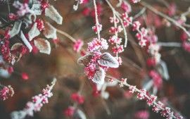 Snow Cherry Leaves