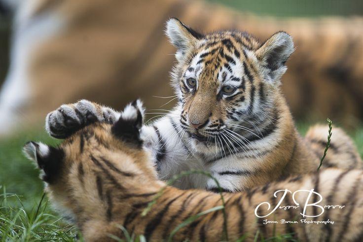https://flic.kr/p/LJnZyU | Milla and Bagai's Cubs 182 | Milla and Bagai had…