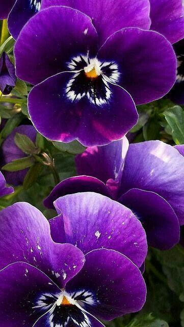 La viola del pensiero è un fiore stupendo !