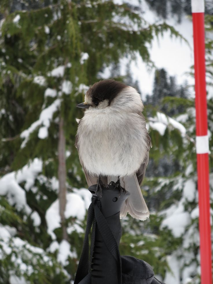 A gray jay paying us a visit while we were snowshoeing.