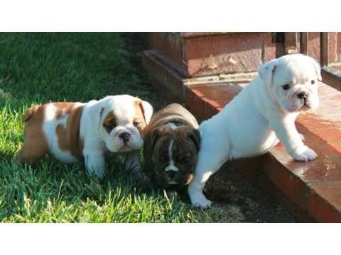 AKC English Bulldog Puppies: Bulldogs Puppies Btw Ray Ban, Puppies Surprise, English Bulldogs Puppies, English Pup, English Bulldog Puppies, Puppys, Puppies Btw Ray Ban 18 99, Akc English, Adorable Akc