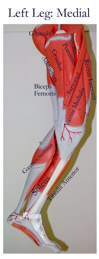 labeled muscles of lower leg - medial side