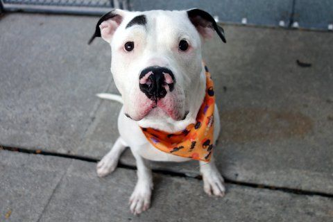 BUSTER - A1094394 - - Manhattan  Please Share:TO BE DESTROYED 11/04/16  A volunteer writes: A two-toned nose and a Groucho Marx eyebrow…Buster is seriously adorable. And he's smart — not only does he seem to be housetrained, he may also be curb-trained as he hopped right off the sidewalk to take care of his business. Going back a step, he gave me a big stand up hug as we waited for the elevator, looking into my eyes to seal our friendship. He had me right