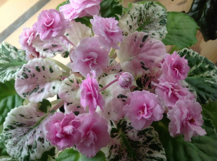 17 Best Images About African Violets On Pinterest Shops What S The And Tvs