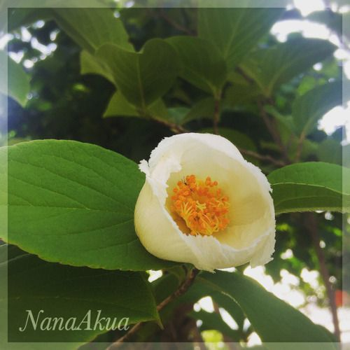 """昨日のお餅の木の続き。  ちゃんと咲くとこんな感じで、あっという間に花が落ちて、2枚目の写真のようになります。  あっかんべーしてる?  3枚目は昨日のお餅。  Today's Ricecake plants :-)  (Japanese stuartia bud/ or it is called natsutsubaki(ナツツバキ, """"summer camellia"""")  ( #夏椿 )  今後のナナアクヤのワークショップ予定  ——————  🌸7月30・31日「mama*MARCHE..."""
