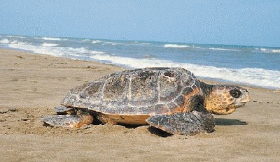 Just a little bit further.........Caretta caretta! - Iztuzu Beach, Dalyan