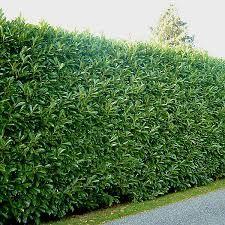Image result for prunus lusitanica hedge