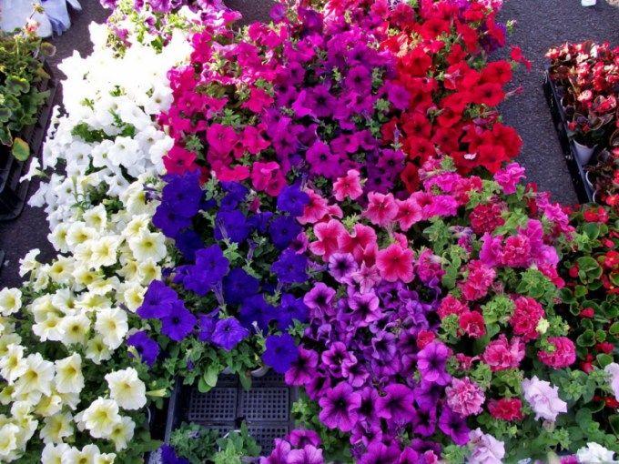 Jenis Bunga Petunia Sangat Cocok Dijadikan Tanaman Gantung