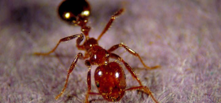 Imported fire ant worker DEATH TO ALL FIRE ANTS!