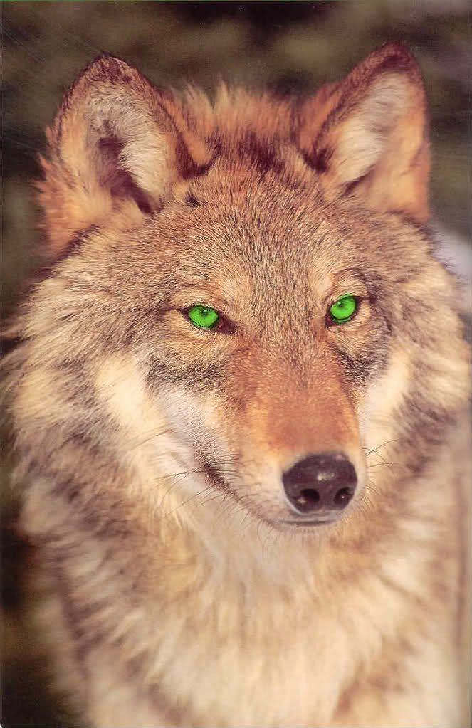 Black Wolf with Green Eyes | Sunrise That Brightens The Morning Forest (Sunrise)~