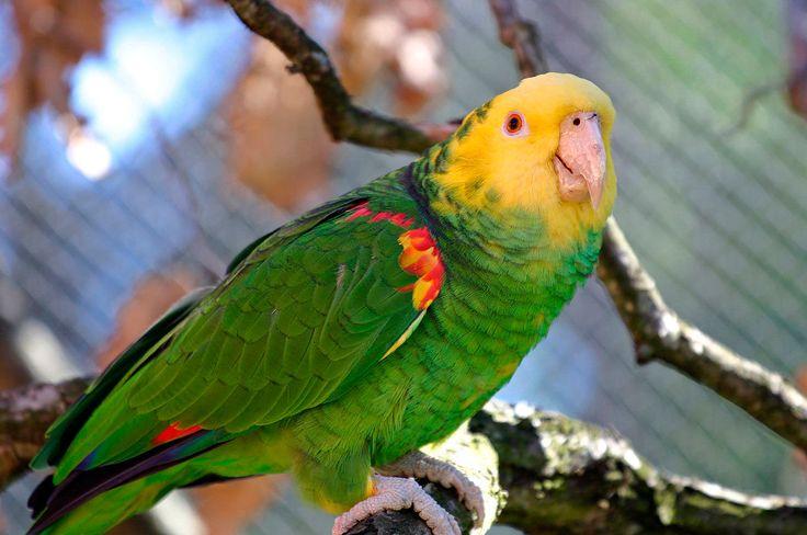 Loro Cabeza Amarilla (Amazona oratrix)