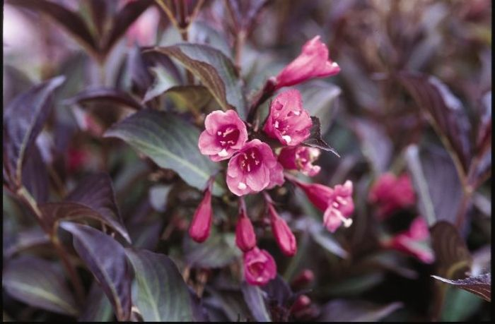 Weigela florida 'Purpurea' - Maréchal