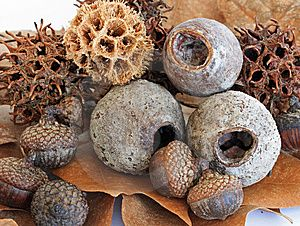 Eucalyptus seed pods & more...