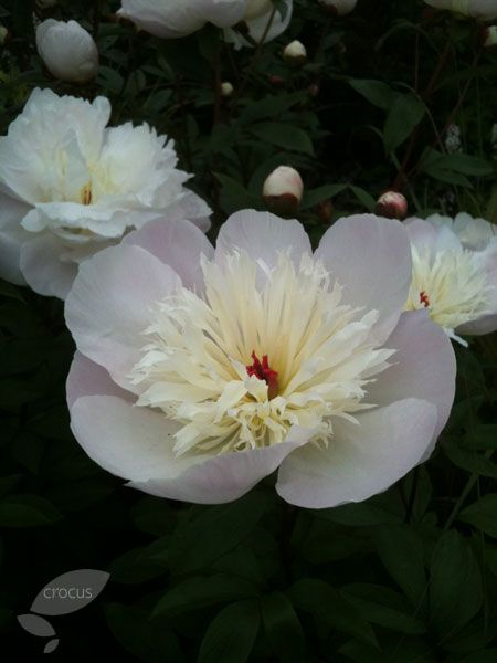 Buy peony Paeonia lactiflora 'Immaculee': Delivery by Crocus.co.uk £9.99 fragrance, cottage, full sun