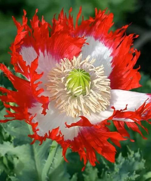 """Red and White Poppy: """".. And flesh doth feed the Flower of Flanders Fields."""""""