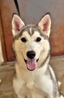 Husky Puppies For Adoption In Arkansas - Photos of Animals