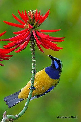 . Orange-bellied leaf bird
