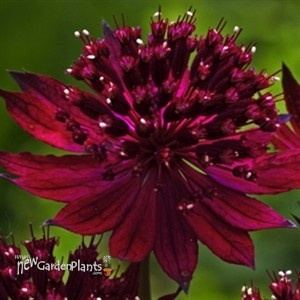 Astrantia Venice  Height 24 inches. Blooms all summer. Partial to full shade.