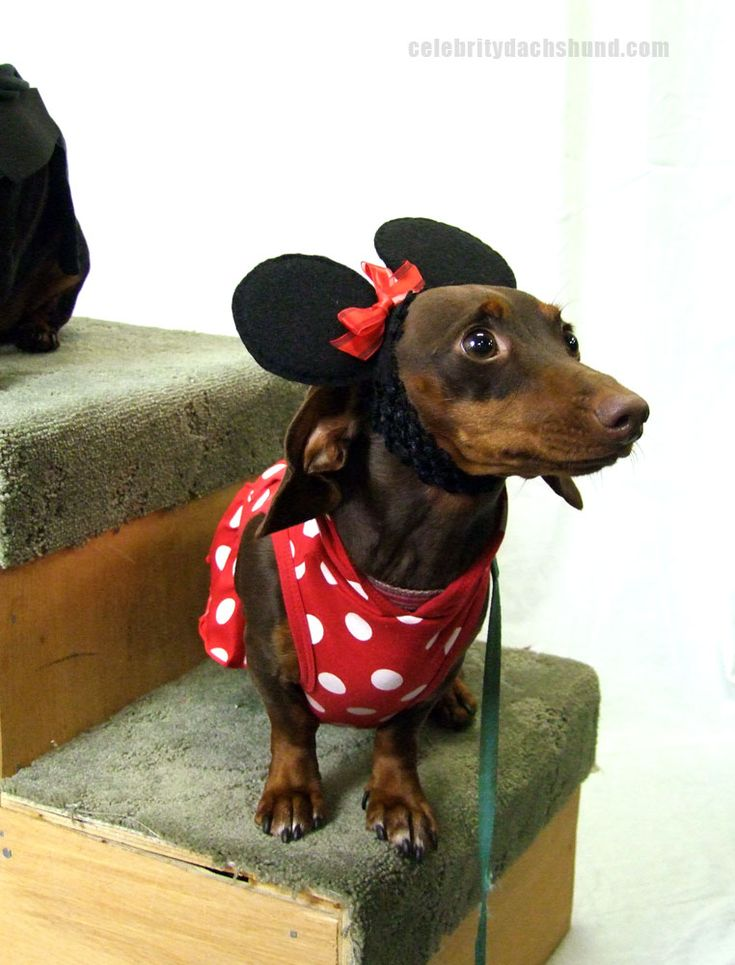 Adorable Minnie Mouse Dachshund Costume http://www.celebritydachshund.com/2013/10/27/halloweenie-dachshund-costumes-contest/