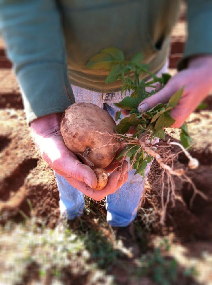 PEI Potatoes #IlovePEI #Canada