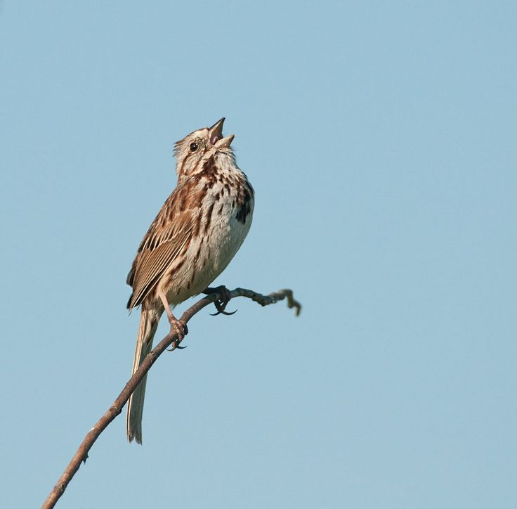 song sparrow singing - Google Search