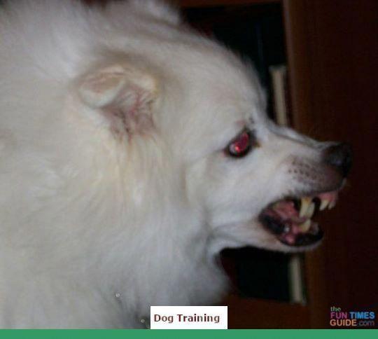 Clicker Training Miniature Schnauzer Dogtraining And Dog