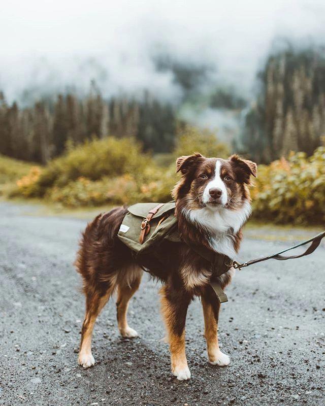 The Smart Australian Shepherd Pup Size Australianshepherdsrule