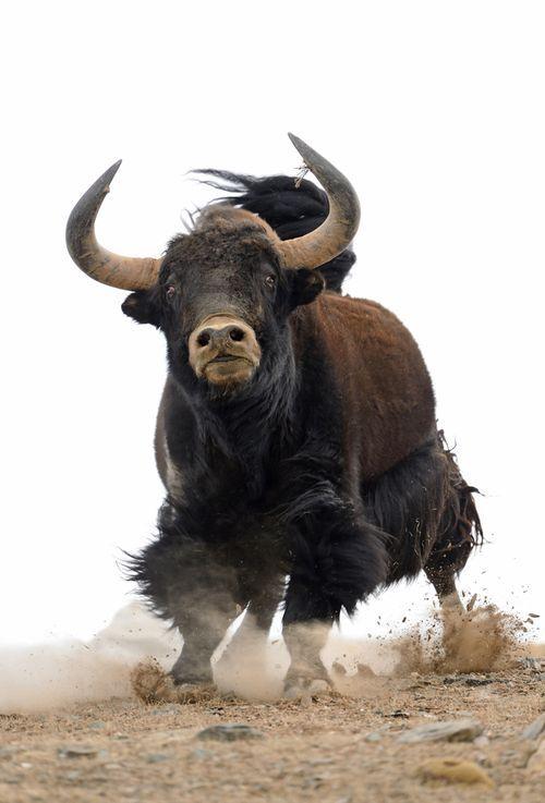 Superbe photos de yak au Tibet par Vincent Munier