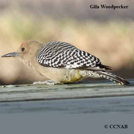 a study on the gila woodpecker Gila woodpecker melanerpes uropygialis a brash, noisy woodpecker of desert regions common in the broadest and most detailed study of its kind.