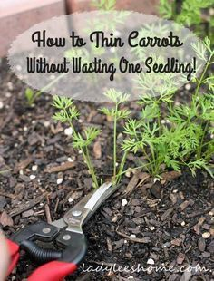 How to thin carrots without wasting one seedling. A couple of thinning options for you to choose from. Thin carrots without wasting your seedlings. #LadyLeesHome