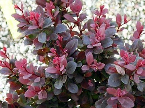 Барбарис Атропурпуреа Барбарис «Атропурпуреа» («Atropurpurea») – такое название растение получило не случайно – листья темно-пурпурового цвета. Высота кустарника примерно 1,5 м. Цветение выпадает на начало или середину июня и составляет 12 дней