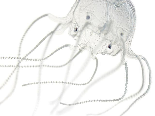 Picture of a box jellyfish