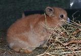 2 baby mini lop doe rabbits, , 2 baby doe bunnies now