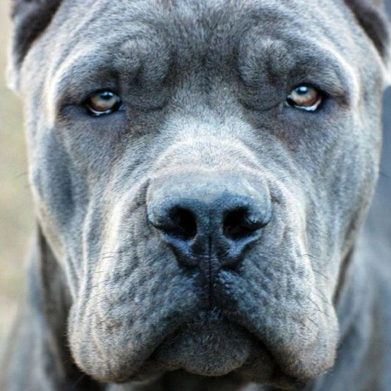 What a handsome face -  blue cane corso.  There is something about those eyes, that has made me fall in love with this breed. Such a beautiful animal ! ONE DAY !!