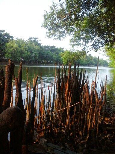 Mangrove (pantai indah kapuk)