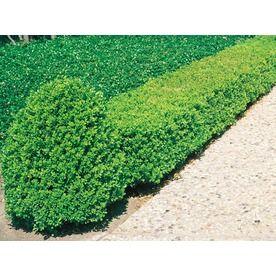 5-Gallon White Wintergreen Boxwood Foundation/Hedge Shrub (L3448) Nursery