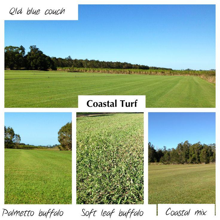 Coastal Turf Grasses growing on our farm