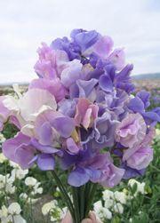 Luktärten 'Incense Blueberry' är rikblommande och har långa stjälkar, så att den intensiva väldoften lätt kan tas in i vas.