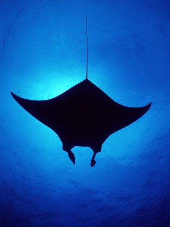 Caribbean Sea Animal Life | ... of Atlantic Manta Ray, Little Cayman Island, Caribbean Sea Animal Art