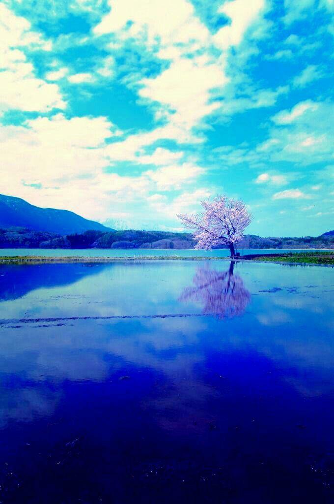 aaa 桜