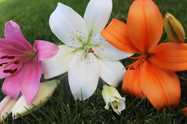 Liliesinatube offers fresh lilies flowers at your doorstep at just $47.