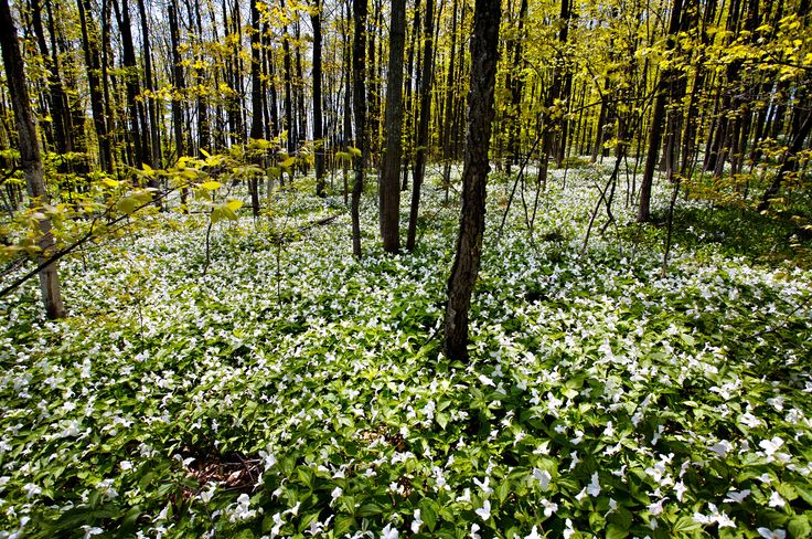 Discover the early wildflowers in the forests of the Grand Traverse Regional Conservation District