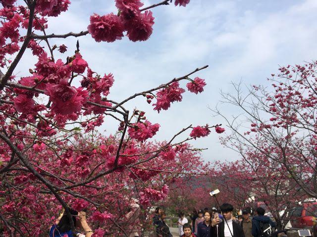 Cherry Blossom Tai An Taichung Taiwan Beautiful Islands Taiwan Travel Asia Travel