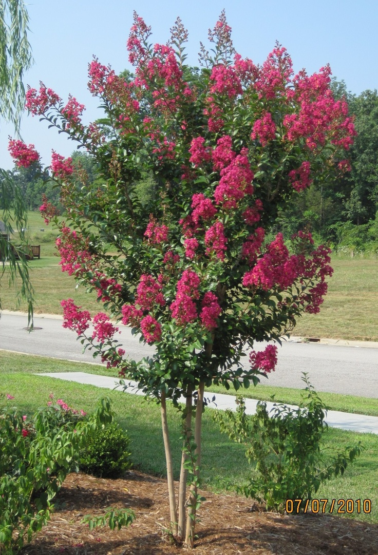 220 best Pink trees images on Pinterest | Shrubs, Plants and Shrub