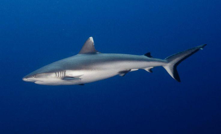 grijze rifhaai grey reef shark herkenbaar aan zwarte