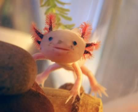 The axolotl is a Mexican neotenic mole salamander. Neotenic means that, as an adult, it holds onto traits seen in juveniles.