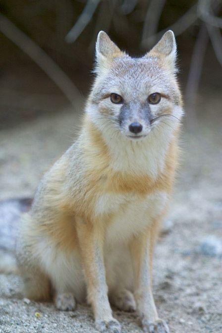 I love him/her <3 swift fox breed