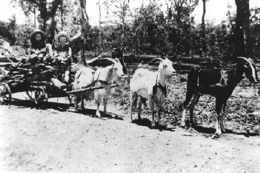 Animals Pulling Wagon : Best animals what pull carts images on pinterest
